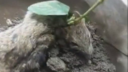 Tudo se transforma! Pé de soja cresce através de rato vivo ()