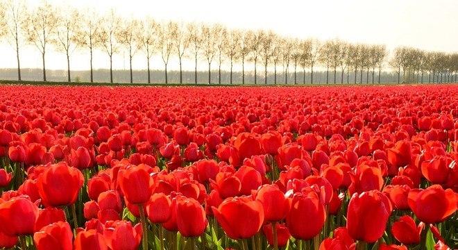 Fungicidas em tulipas associados ao aquecimento global criaram os superfungos