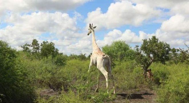 'Única girafa branca do mundo' é equipada com rastreamento por GPS