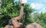 Os elefantes asiáticos, a espécie de Asha, estão na lista dos animais em risco extinção