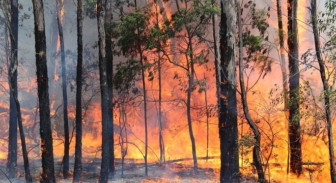 As plantas pirofíticas, como eucaliptos, são resistentes ao fogo