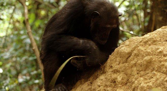 As observações de Goodall provaram que os chimpanzés são capazes de fazer ferramentas