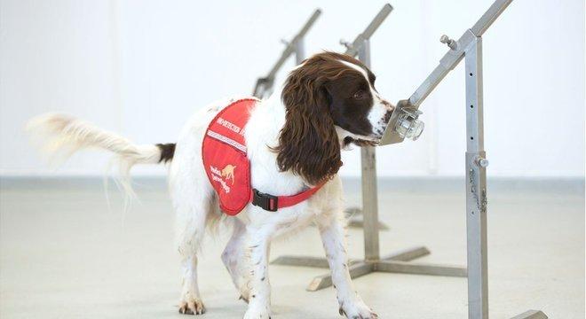 Os cães farejadores médicos já são capazes de detectar vários tipos de doença