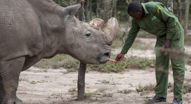 Sudan, o último rinoceronte branco do norte macho, que morreu em março de 2018