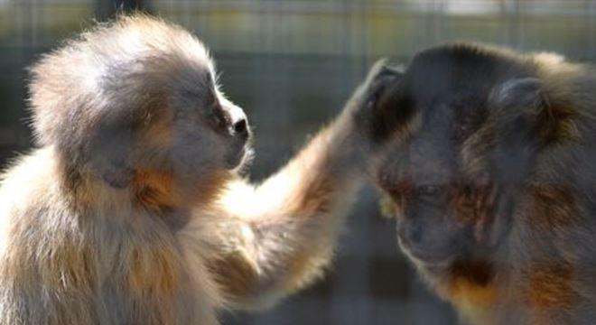 Um deles mastigou o objeto roubado provocando receios de que os primatas possam espalhar o novo coronavírus