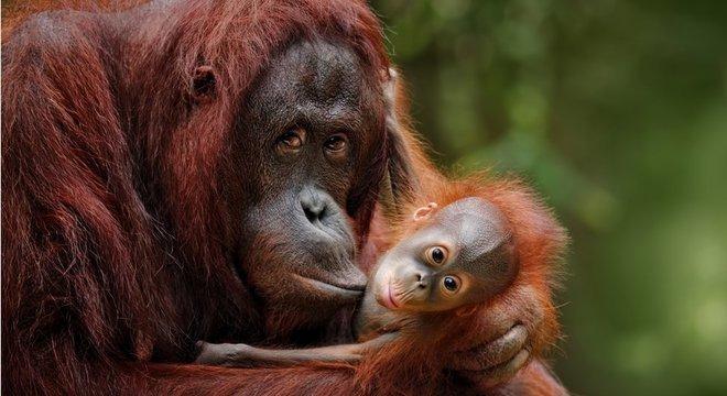 Como em outras espécies, o sentimento materno das mães primatas já foi demonstrado pela ciência