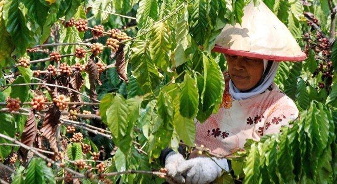 Cientistas dizem que sabemos muito pouco sobre os insetos que são benéficos para nós, como os que polinizam o café