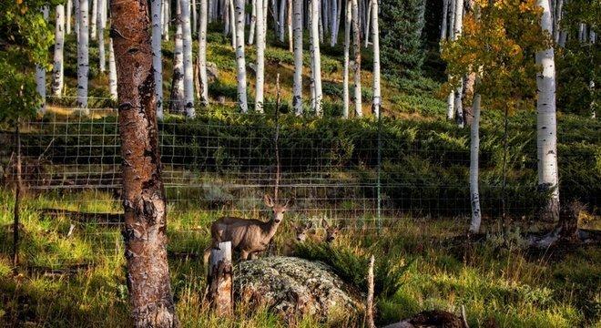 A presença de veados, cervos e vacas tem ajudado a diminuir o bosque Pando
