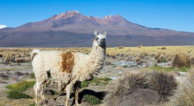 As lhamas são um dos quatro tipos de camelídeos sul-americanos