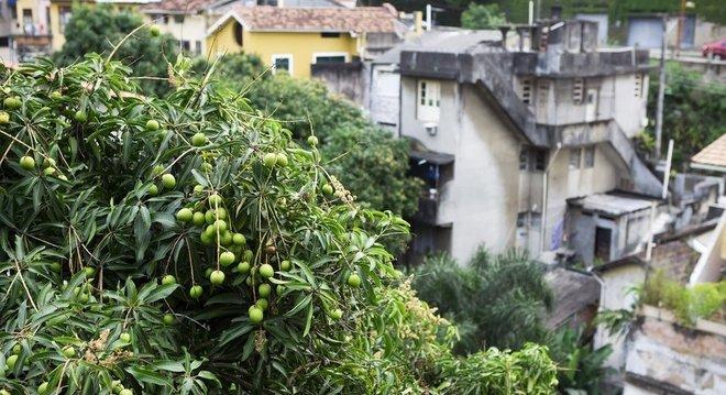 Sim, ela também é nossa! Uma mangueira no Rio de Janeiro