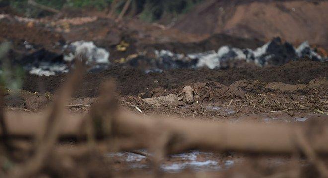 Uma vaca em meio à lama após rompimento de barragem em Brumadinho; para ex-ministro, Congresso falhou ao não atualizar legislação para o setor