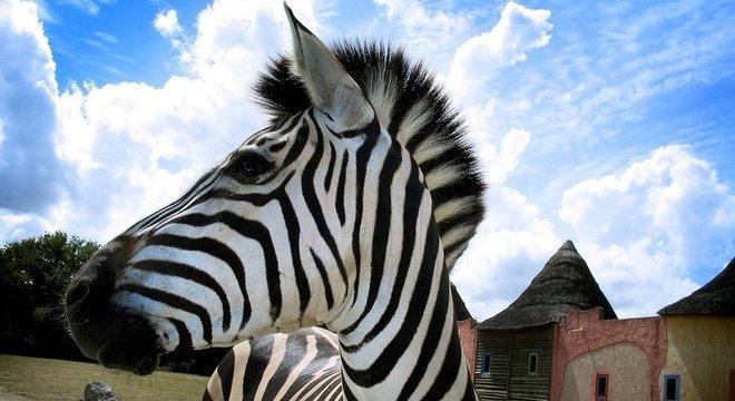 As três espécies conhecidas de zebras que vagam pela África são os únicos equídeos listrados