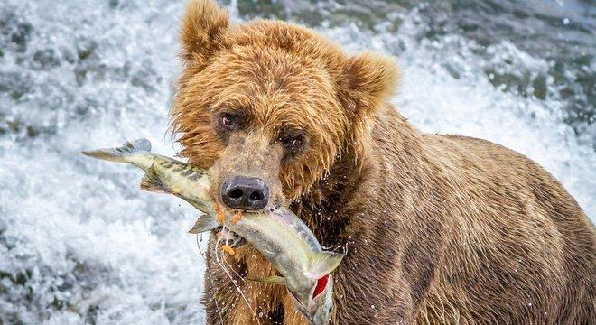 Ursos conseguem contar peixes?