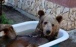Este é Balu, um simpático urso-marrom que não dispensa um banho diário de banheira, com direito a pétalas de rosas