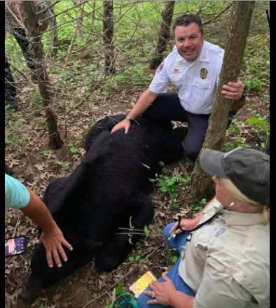 Urso Bruno foi contido no Missouri com traquilizantes