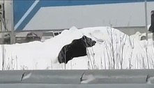 Urso fugitivo persegue homem e espalha pânico em cidade