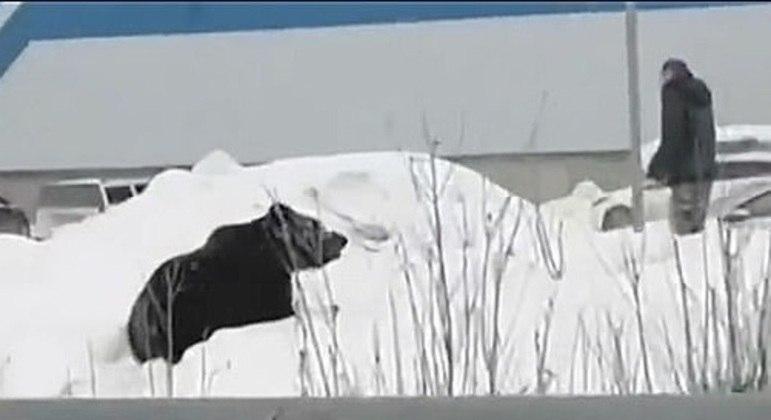 Urso de um ano e meio espalhou medo nas ruas de cidade na Sibéria
