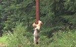 Depois de uma rápida mordiscada no poste, o 'showabear' se sente livre para retornar ao aconchego da florestaRecentemente, uma jovem causou polêmica ao tirar uma selfie enquanto era 'revistada' por um urso. Confira a seguir!