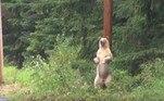 Especialistas acreditam que existam cerca de 400 ursos-espíritos na regiãoBombou no HORA 7!Professor 99% tatuado é proibido de lecionar ao jardim de infância