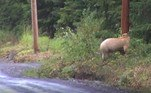Também conhecido comourso de Kermode (Ursus americanus kermodei), o animal é uma subespécie do urso-negro (Ursus americanus)