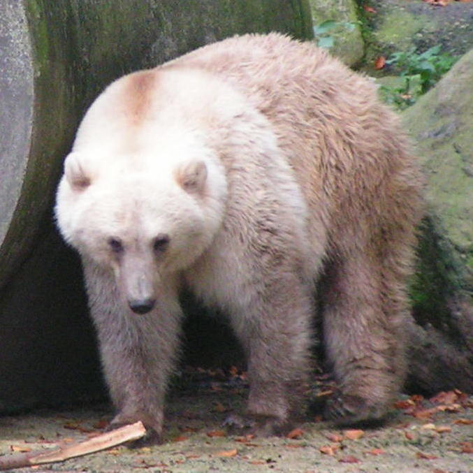 Este animal está triste por carregar nas costas o destino dos ursos-polares
