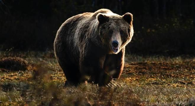 Petição que pede suspensão do abate do urso  tem mais de 20 mil assinaturas