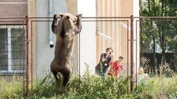 Urso pardo mata cabra, invade escola na Romênia e acaba morto a tiros ()