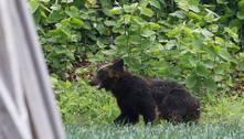 Caçadores matam urso que atacou quatro pessoas no Japão