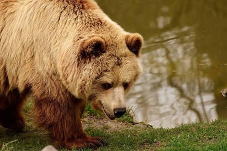 Trento tem cerca de 90 ursos vivendo na natureza