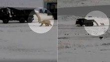 Ursos-polares perseguem caminhão militar em busca restos de comida