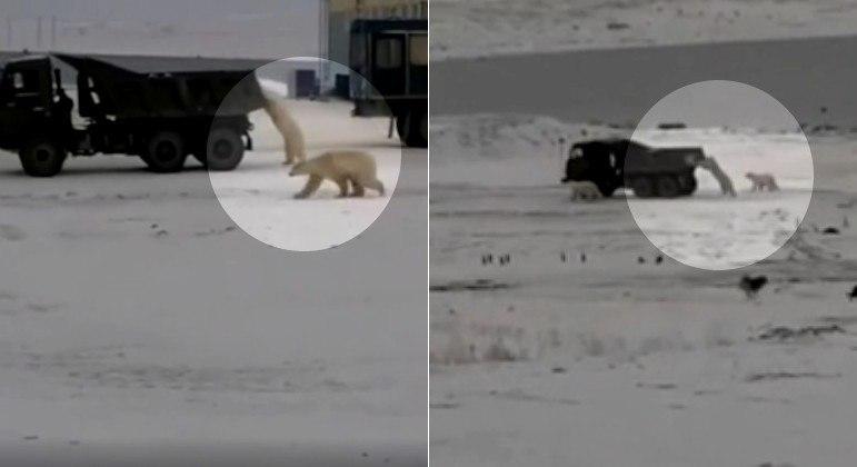 Ursos-polares agarraram caminhão usado para transportar restos de comida de base russa