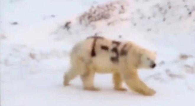 Vídeo em circulação nas redes sociais mostra urso polar com pelo pichado; teme-se que isso dificulte a habilidade do urso de se camuflar e, consequentemente, de caçar alimentos