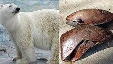 Urso polar morre em zoológico ao engolir bola de borracha intrusa