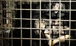 Os dois ursos — um macho chamado Xuan e uma fêma chamada Mo — foram sedados para o resgate, uma forma de evitar possíveis ataques
