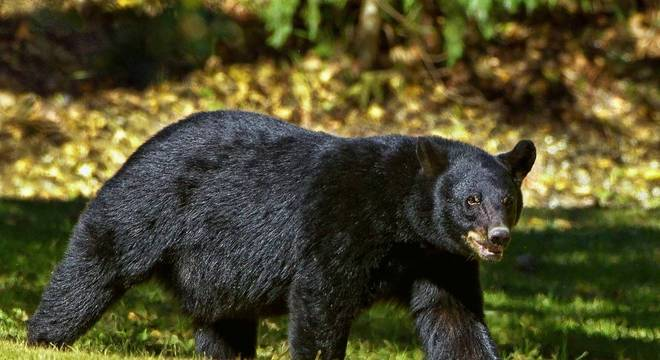 Ambientalistas denunciam abate de milhares de ursos pretos no Canadá