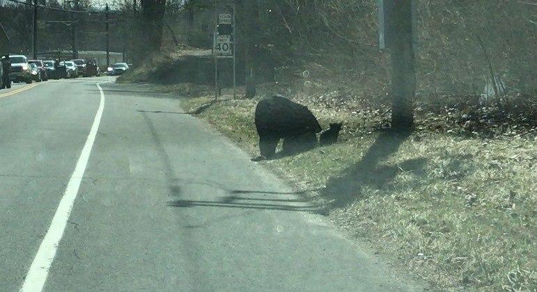 Mamãe ursa sofre para conseguir atravessar estrada com seus 4 filhotes