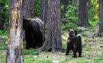 Ver filhotes ursos de urso na natureza é um tanto raro, justamente porque as mães são muito vigilantes e agressivas para proteger as criasVALE SEU CLIQUE: Turista não segue avisos e assiste desolado carro afundar em praia