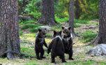 Um fotógrafo flagrou uma cena bastante inusitada em uma floresta da Finlândia: um grupo de filhotes de urso brincando igual crianças