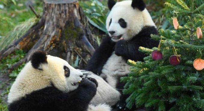 Em 2020, pandas que tentavam acasalar há 10 anos finalmente conseguiram