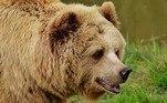 Segundo o Serviço Nacional de Parques, ursos certamente 'perseguirão animais em fuga'NÃO PERCA:Motorista de ônibus é agredido após pedir para passageiro usar máscara