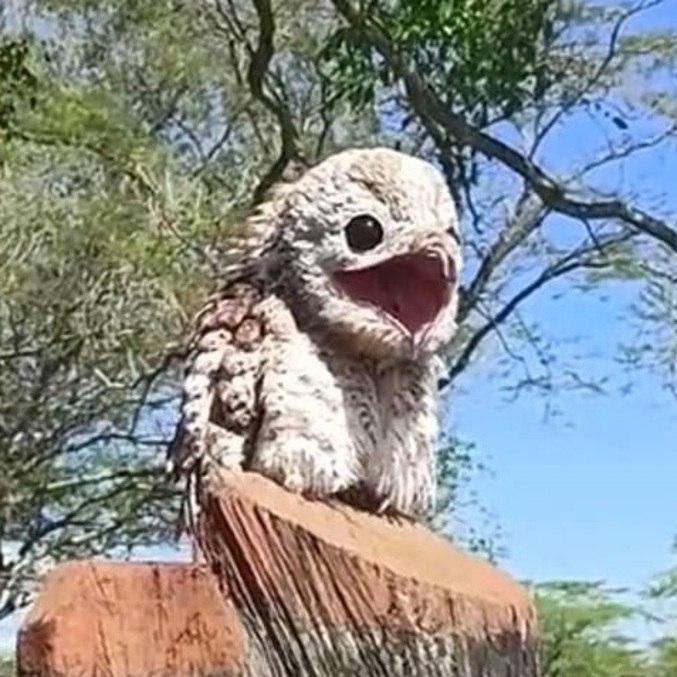 O urutau não tem medo de humanos