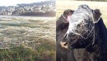 Vaca entra em pasto e sai com cabeça coberta por teias de aranha