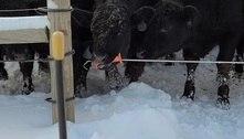 Vaca aprende a escapar de cerca elétrica e assusta dono: 'Inédito'