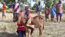 Aldeões saúdam vaca de 5 patas como sinal de sorte no Ano do Boi