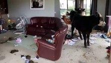 Vacas invadem casa, destroem móveis e ainda defecam no chão