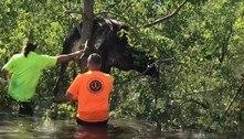 Vaca presa em árvore é resgatada após passagem do furacão Ida