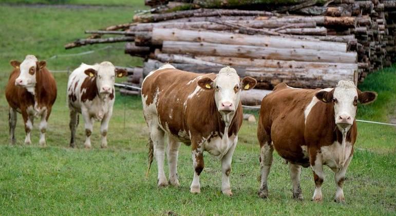 O estômago das vacas produz um líquido capaz de degradar moléculas de plástico