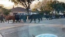 Vacas escapam de matadouro, invadem cidade e deixam 2 feridos