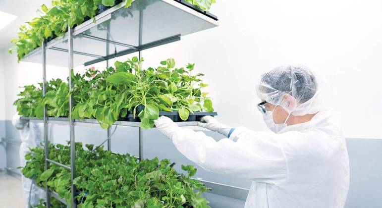 Tabaco selvagem é ideal para testes envolvendo vírus, afirma empresa