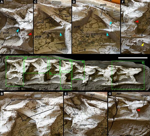 Vértebras cervicais em vermelho: Silutitan sinensis; vértebras caudais em amarelo: Hamititan xinjiangensis; vértebras sacrais em verde: espécime sem nome